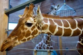 Axl Rose Goes Deep On Danish Giraffe Killing