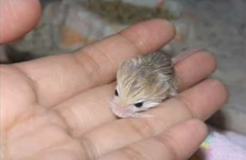 how about these pygmy jerboa babies stereogum