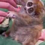 Sonya The Slow Loris Leads A Charmed Life Of Luxury