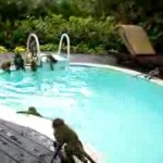 These Monkeys Having A Pool Party Are Making Us Look The Fool