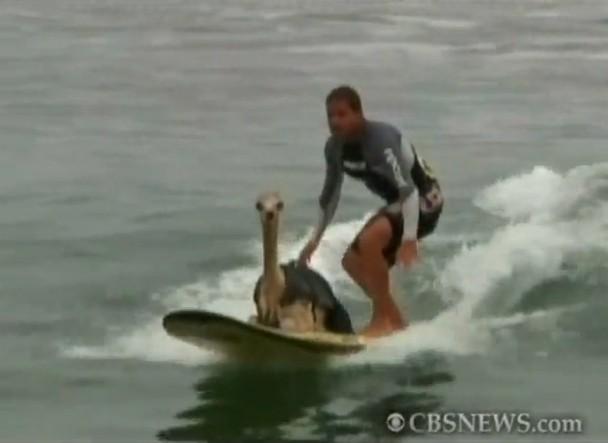 alpaca_surfing