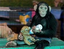 monkey_tiger