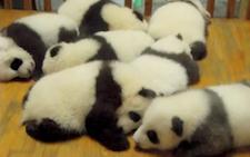 lotsofpandas