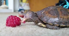 pz_turtle