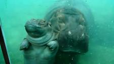 hippooooo