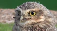 pz_owl