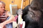 Watch Koko The Gorilla Play Bass With Flea
