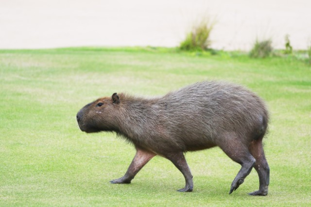 Triplets Of Famous Canadian Capybaras Named After Rush