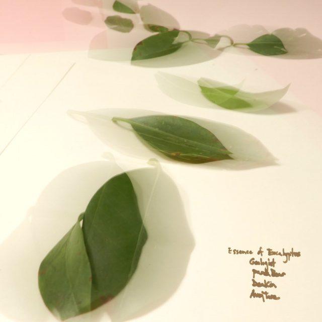 Essence Of Eucalyptus